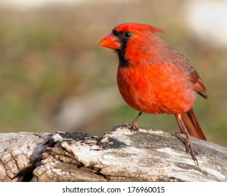 Perched male Northern Cardinal (Cardinalis cardinalis) in the Texas Hill Country