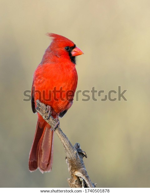 Perched male Northern Cardinal in South Texas