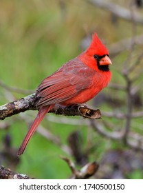 Perched male Northern Cardinal in the Texas Hill Country