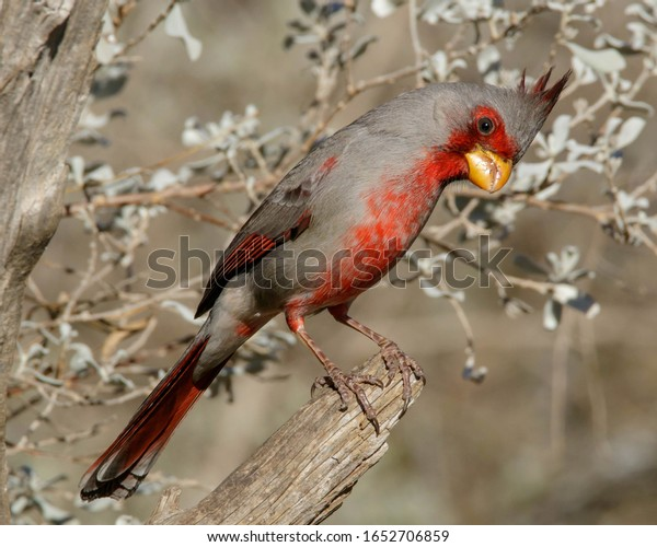 Perched male Pyrrhuloxia in South Texas