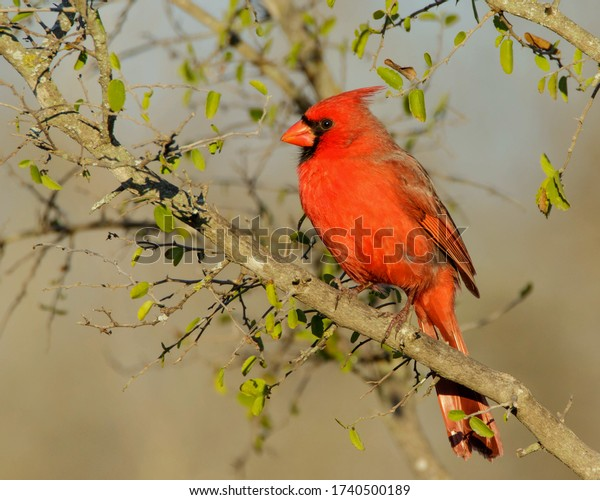 Perched Northern Cardinal in South Texas