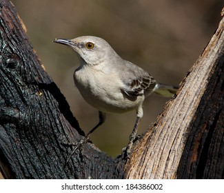 Perched Northern Mockingbird (Mimus polyglottos) in the Texas Hill Country