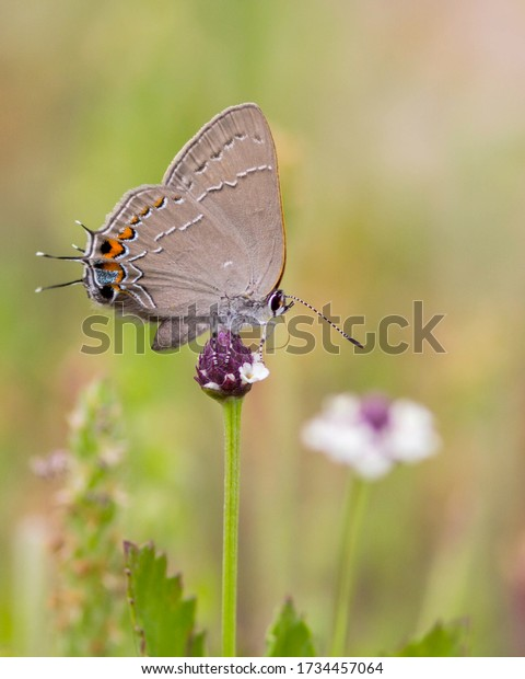 Perched Oak Hairstreak butterfly in the Texas Hill Country