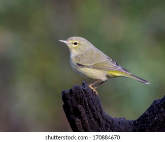 Perched Orange-crowned Warbler (Oreothlypis celata) in the Texas Hill Country