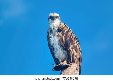 Perched Osprey Predator