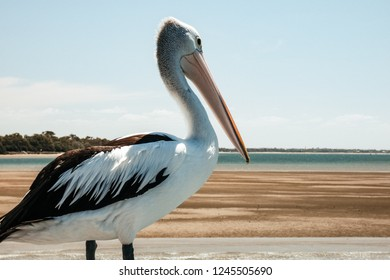 Perched Pelican on a Dock