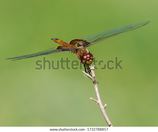 Perched Red Saddlebags dragonfly in South Texas