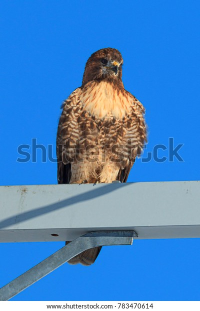 Perched red tailed hawk on the Rathdrum Prairie in north Idaho.