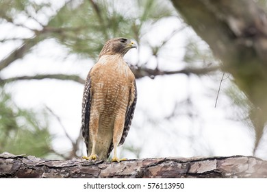 A perched Red-shouldered Hawk in a pine tree in soft overcast light.