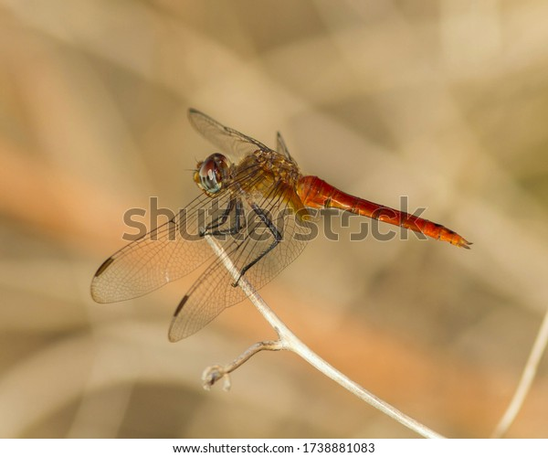Perched Red-tailed Pennant dragonfly in the Texas Hill Country