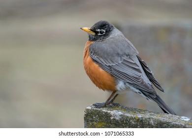 A Perched Robin