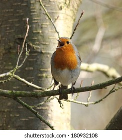 Perched and singing Robin redbreast