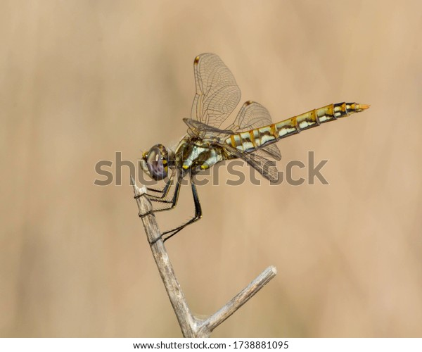 Perched Variegated Meadowhawk in the Texas Hill Country