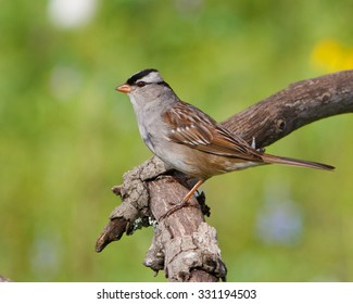 Perched White-crowned Sparrow
