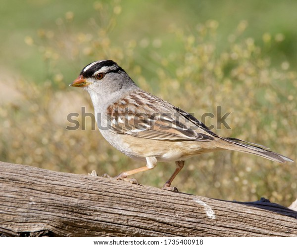 Perched White-crowned Sparrow in South Texas