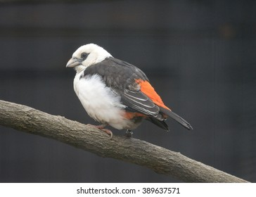 Perched White-headed buffalo weaver (Dinemellia dinemelli)