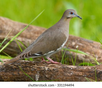 Perched White-winged Dove