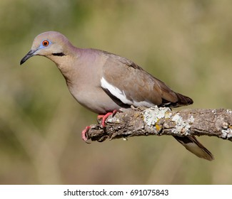 Perched White-winged Dove in South Texas