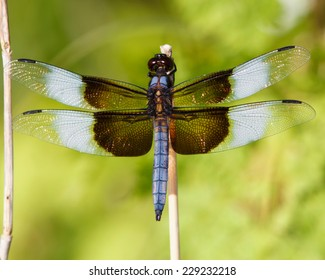 Perched Widow Skimmer Dragonfly (Libellula luctuosa)