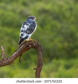 perched wild augur buzzard