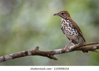 A perched wood thrush photographed in Costa Rica