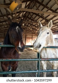 Percheron gray mare and bay gelding thoroughbred standing together in an outdoor pasture barn hoping I give them their hay!