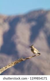 Perching Crested lark (Galerida cristata) in Israeli Negev desert