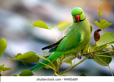 Perching Green Parrot over the Ganges in Varanasi, India