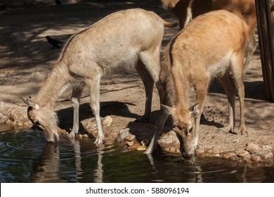 Pere David's deer (Elaphurus davidianus), also known as the milu.