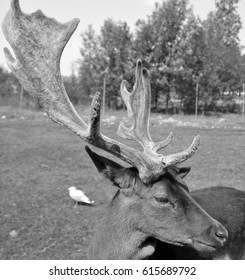 Pere David's deer (Elaphurus davidianus), also known as the milu or elaphure, is a species of deer that is currently extinct in the wild all known specimens are found only in captivity.