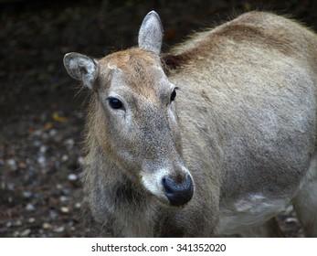 Pere David's deer female (Elaphurus davidianus) also called milu or elaphure
