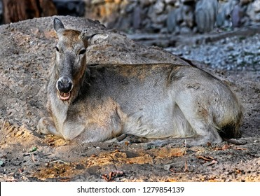 Pere David`s deer female. Latin name - Elaphurus davidianus. These animals are exterminated in the wildlife, live only in zoos