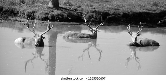 Pere David's deer, also known as the milu or elaphure, is a species of deer that is currently extinct in the wild all known specimens are found only in captivity.