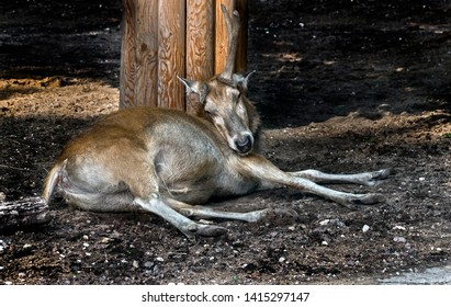 Pere David`s deer. Latin name - Elaphurus davidianus. These animals are exterminated in the wildlife, live only in zoos