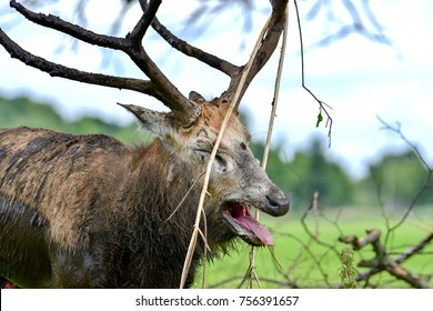 Pere David's deer bellowing with foliage in his antlers