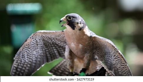 Peregrin Falcon in Portland Oregon