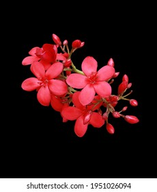 Peregrina, Spicy Jatropha, Jatropha integerrima, Close up small red flowers bouquet isolated on black background. Top view exotic flowers. - Shutterstock ID 1951026094
