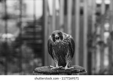 Peregrine falcon in the aviary.