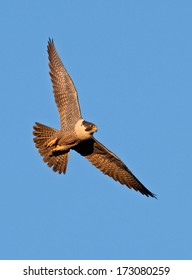 A peregrine falcon banks sharply through the blue sky as the early morning sun casts a warm glow to its plumage.
