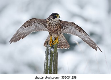 Peregrine Falcon, bird of prey sitting on the tree trunk with open wings during winter with snow, Germany.