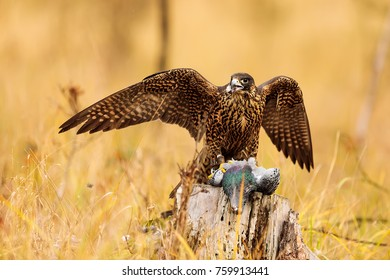 Peregrine falcon can to eat pigeon