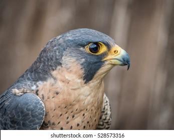Peregrine Falcon close up portrait (Falco peregrinus)