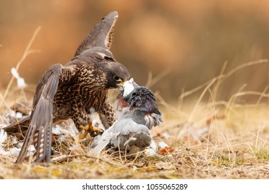 Peregrine falcon is cutting the pigeon