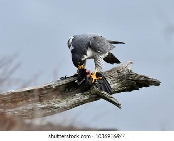 Peregrine Falcon eating a grackle (Falco peregrinus), NJ