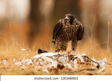 Peregrine falcon (Falco peregrinus) above prey
