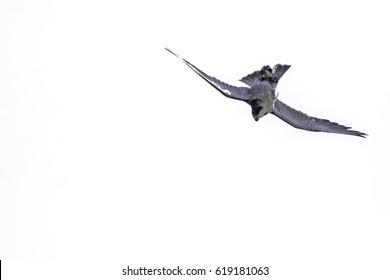 Peregrine Falcon Diving Images Stock Photos Vectors Shutterstock
