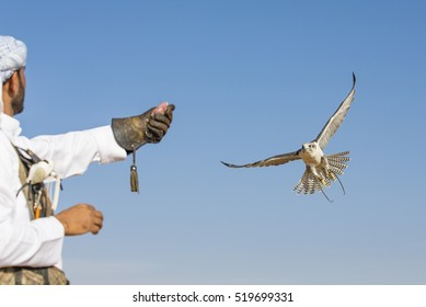 Peregrine Falcon (falco peregrinus) flying to the arm of its trainer in a desert near Dubai, UAE
