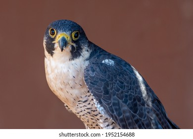Peregrine Falcon (Falco peregrinus) head shot very close up. Falconry or keeping falcons and racing them in the middle east.