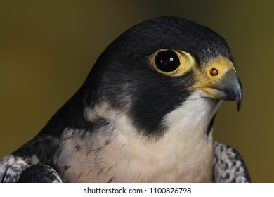 The peregrine falcon (Falco peregrinus), also known as the peregrine, and historically as the duck hawk in North America, is a widespread bird of prey in the family Falconidae