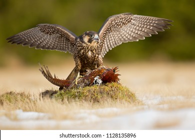 Peregrine falcon (Falco peregrinus), also known as the peregrine, and historically as the duck hawk in North America